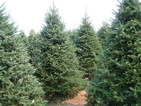 wholesale christmas trees high ground tree farm