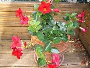 Plantes D Hiver Extérieur Balcon : dipladenia ou mandevilla entretien bouture rempotage ~ Nature-et-papiers.com Idées de Décoration