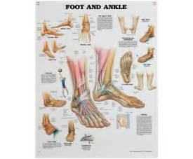 Ankle and Foot Anatomy Chart