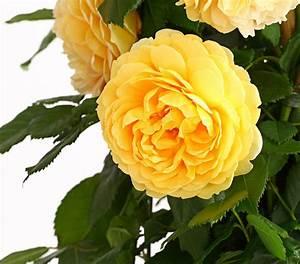 Rosen Düngen Im Frühjahr : englische rosen dehner ~ Orissabook.com Haus und Dekorationen