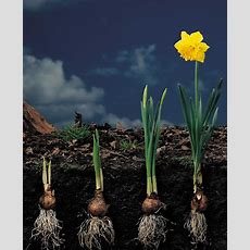 Planting Spring Flowering Bulbs  Mississippi State University Extension Service