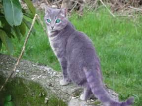 blue gray cat nightclan warrior cat clans wiki fandom powered by wikia