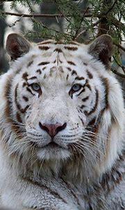 White tiger   Big cats, Wildlife animals, Warrior cats