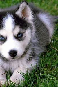 cute pomsky blue eyes
