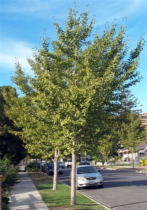 tree ginkgo biloba ancient ginkgo trees have survived the test of time the fillmore gazette