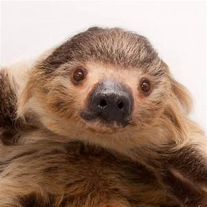 hoffman 39 s two toed sloth national geographic
