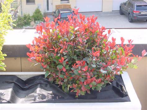 bilder mit rot strauch mit rot gr 252 nen bl 228 ttern foto bild pflanzen pilze flechten str 228 ucher robin