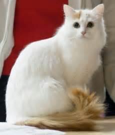 turkish cats cat