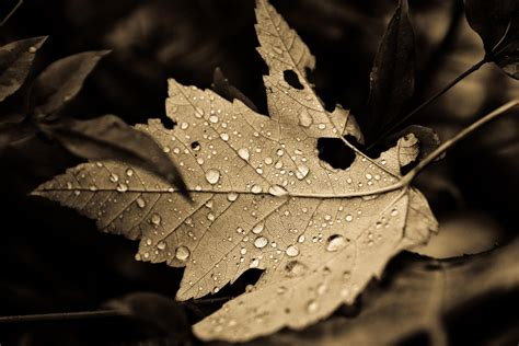 leaves sepia dew nature wallpapers hd desktop