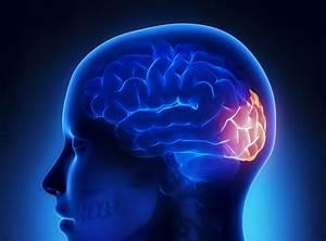 Diagram Of The Occipital Lobe