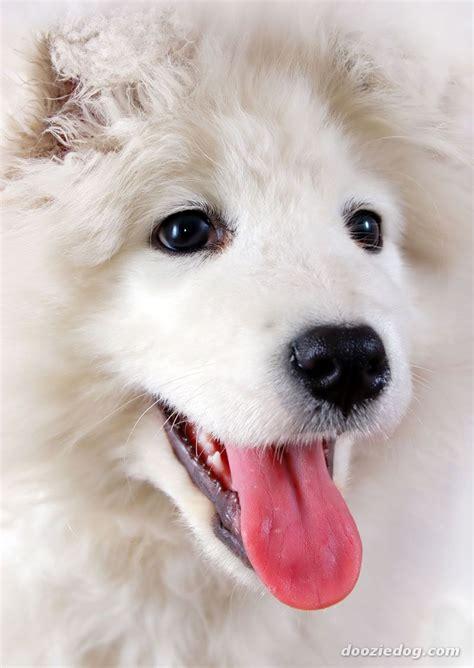Samoyed Dogs Samoyeds Samoyed Dogs Dogs Samoyed