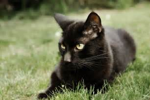 black cat pictures beautiful black cat hd pictures wallpapers 2013