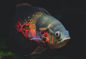 Definitive Guide To Oscars  U2014 Practical Fishkeeping Magazine