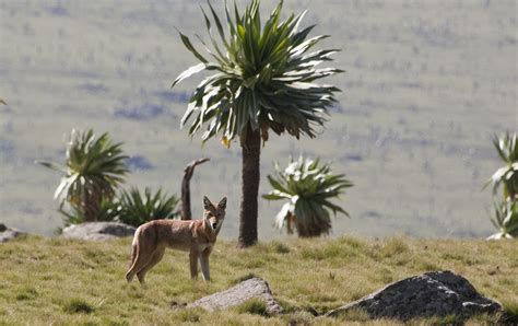 Facts About The Ethiopian Wolf