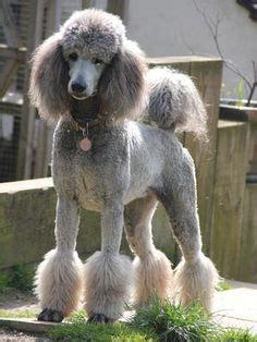 definition   miami clip poodle trim google search
