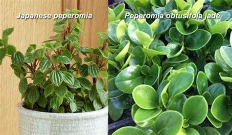jenis jenis tanaman hias sri rejeki cat rumah minimalis