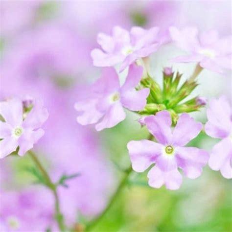omeopatia fiori di bach fiori di bach il raro water violet fiori di bach