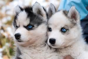 cute little huskies :D - Puppies Picture