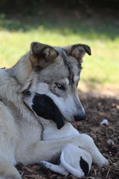 malachi  wolfdog snuggles  foster puppies  bark