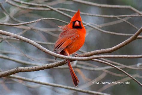 love  cardinals repurposed life