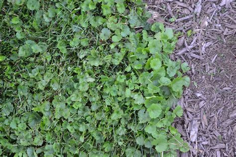 lawn weeds common lawn weed identification 2017 2018 best cars reviews