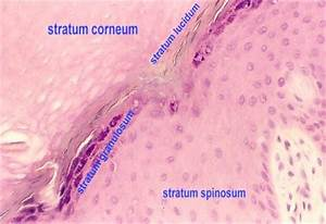 Human Skin Cell Under Microscope Labeled