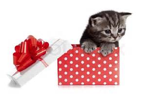 cat gift box baby cat in gift box stock photo