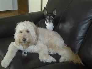 cute-big-dogs-that-don't-shed-mini-goldendoodles-full ...