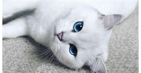 chat aux yeux bleus percants devient la star dinternet