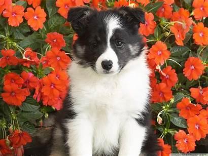 Shetland Sheepdog Puppy Flowers Sheltie Surrounded Blooming