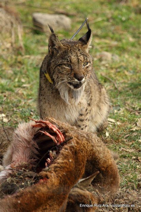 le lynx assurance voiture le lynx assurance auto pub tv irruption le comparateur de mutuelle le lynx assurance