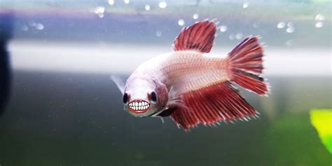 how do beta fish live do betta fish have teeth bettafish org