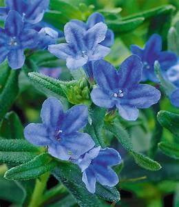 Dauerblüher Sommer Winterhart : lithodora 39 heavenly blue 39 stauden winterhart bei baldur ~ Michelbontemps.com Haus und Dekorationen