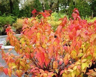 Spiraea japonica 'Macrophylla' Japānas spireja - Spirejas ...