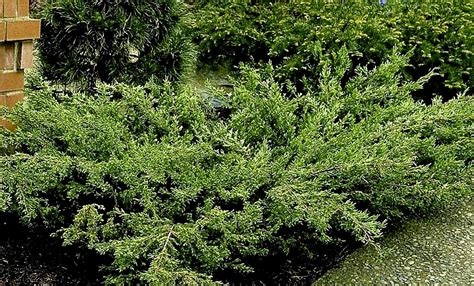 shrubs coniferous greens  gardens