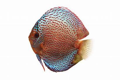Discus Care Fish Sheet Aquarium Sheets Aqueon