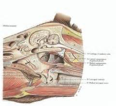 Gross - Spring - Equine and Ruminant Nasal Cavity, Oral ...