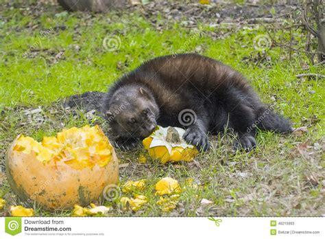 wolverine gulo gulo stock image image  mustelidae