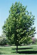 Click on image above t...Sugar Maple Tree