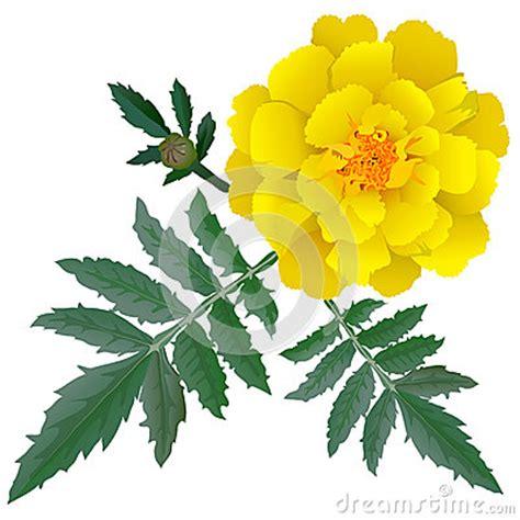 realistic illustration of yellow marigold flower tagetes isolated on white background stock