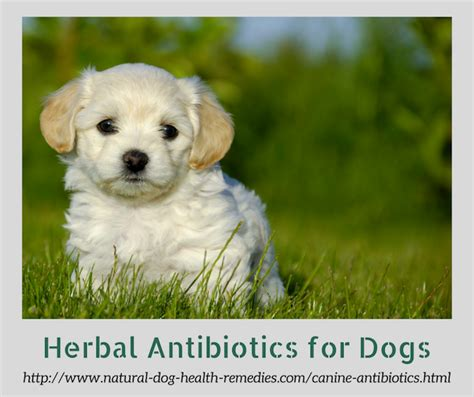 canine antibiotics herbal antibiotics  dogs