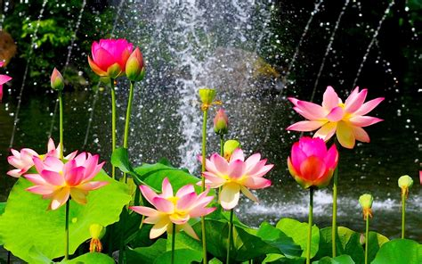 Lotus Flowers Near Waterfall Awesome  New Hd Wallpapernew
