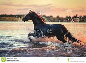 Black Horse Running In Water At Sunset Stock Photo - Image ...