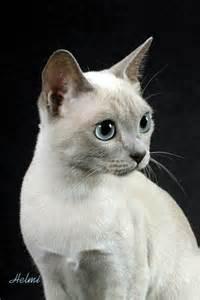 tonkinese cat tonkinese cat picture l10 poc