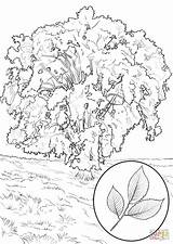 Coloring Elm Tree Pages American Magnolia Southern Trees Clipart Printable Supercoloring Designlooter Drawing Categories America sketch template