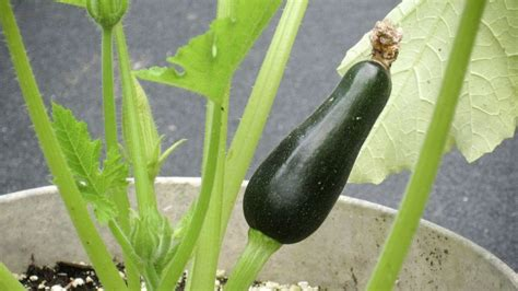 Gardening: Tips for growing zucchini - The Morning Call