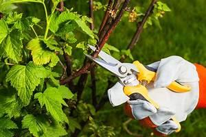 Wann Müssen Apfelbäume Geschnitten Werden : johannisbeeren richtig schneiden plantura ~ Lizthompson.info Haus und Dekorationen