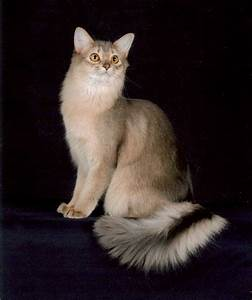 Silver Somali Cat | www.pixshark.com - Images Galleries ...