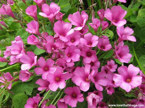 Pink Oxalis Flowers  Sara's Fave Photo Blog
