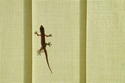 geco in casa tenere un geco in casa great correlophus ex ciliatus with